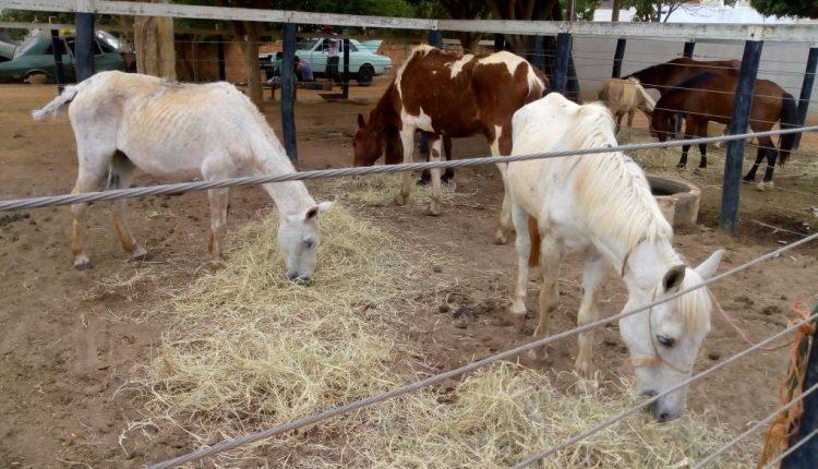 Secretaria de Desenvolvimento Econômico realiza ação de recolhimento de equinos soltos